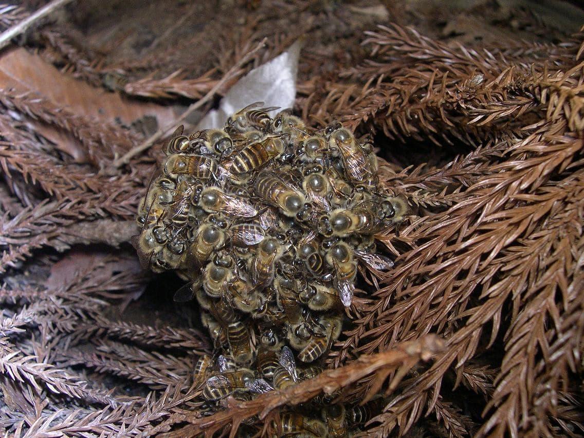 زنبورهای جمع شده به دور مهاجم