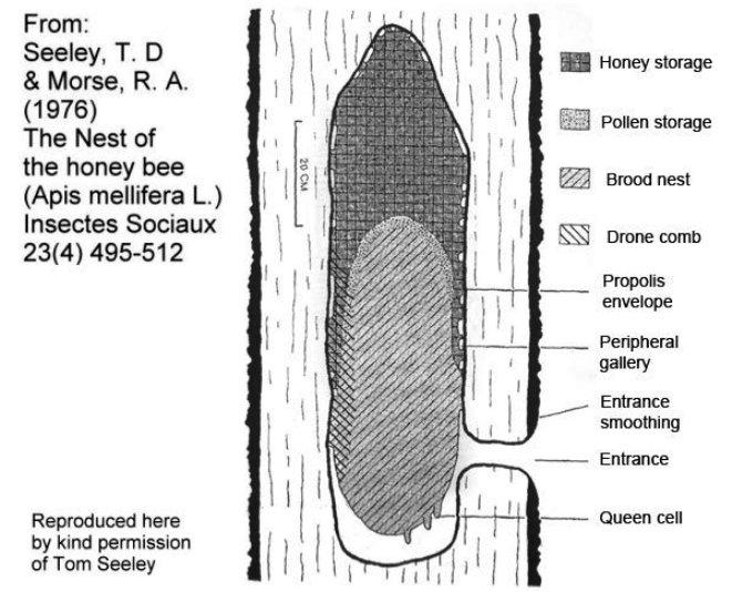 ساختار طبیعی کندوی زنبور عسل در طبیعت
