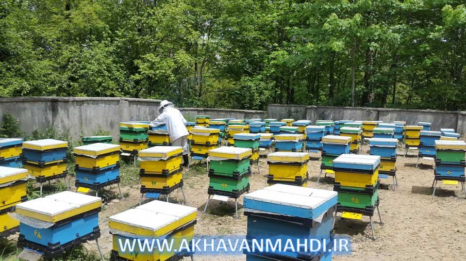 زنبورستان تولید ژل رویال آقای دکتر نجاتی جوارمی