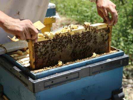 برداشت عسل از کندوها