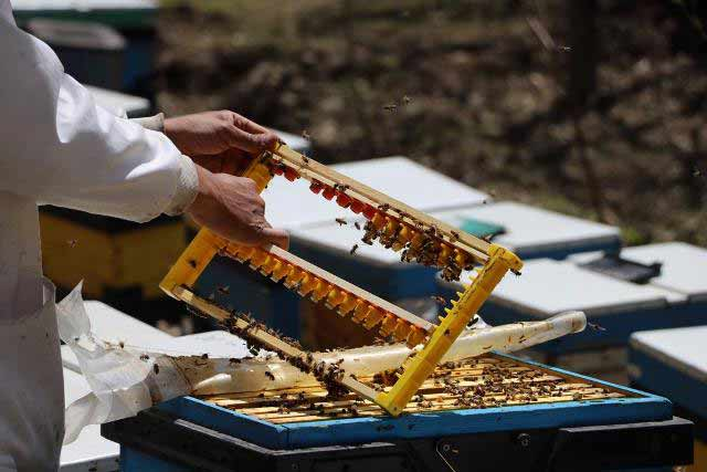 پرورش ملکه زنبور عسل